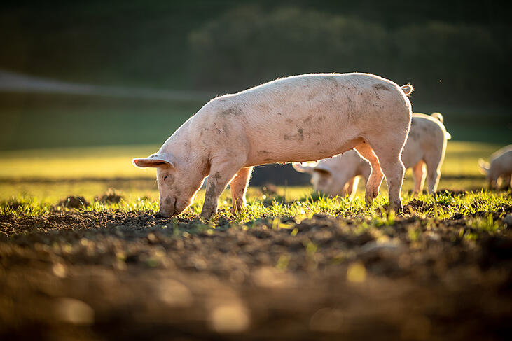 Proposition 12 and pork prices